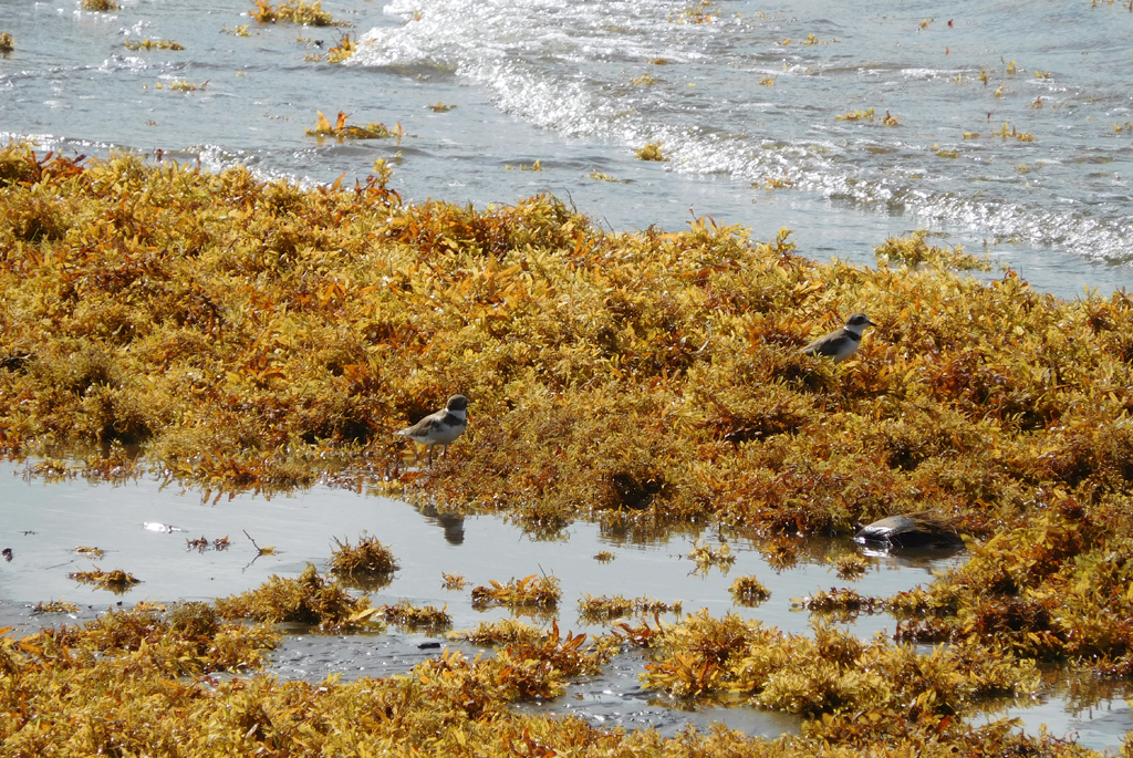 Yes, sargassum can be a health risk